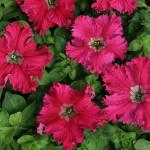 Петуния Бахромчатая крупноцветковая Афродита Розовая