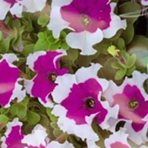 Петуния гибридная крупноцветковая низкорослая Фрост Фиолетовая