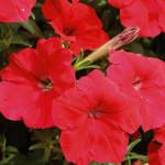 Петуния гибридная ампельная крупноцветковая Лавина Красная