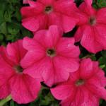 Петуния гибридная крупноцветковая низкорослая Мистрал темно-розовая