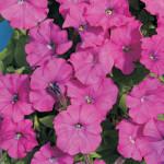 Петуния гибридная мелкоцветковая Карлик Фиолетовый