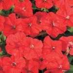 Петуния гибридная мелкоцветковая Карлик Красный