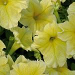 Петуния крупноцветковая низкорослая Желтая