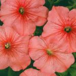 Петуния многоцветковая низкорослая Иветта