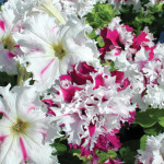 Петуния крупноцветковая бахромчатая Поздрав из Яромнерже