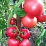 tomat_kasamori
