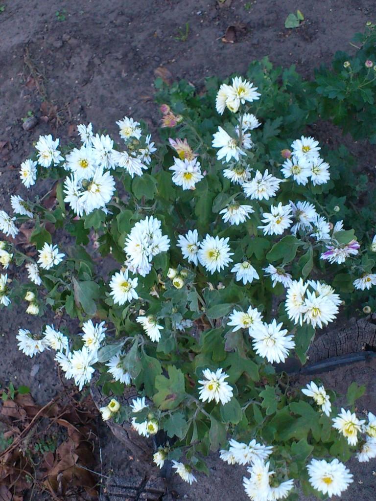 белые осенние цветы