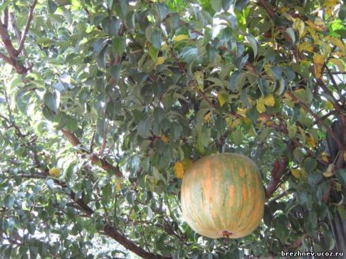 тыква на дереве