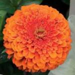 циния оранжевая шпилька