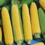 Кукуруза Золотое Чудо