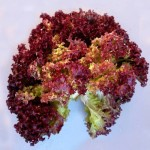 Салат Ред коралл