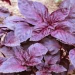 базилик пурпурная заря