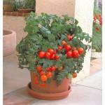 томат балконный