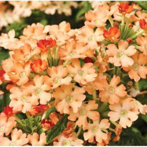 Вербена абрикосовая крупноцветковая