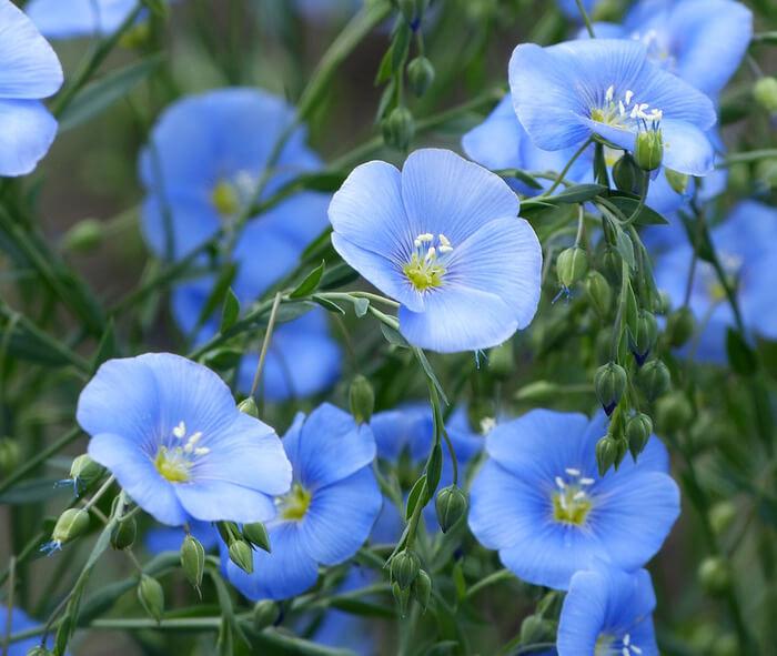 Лен голубой фото цветы