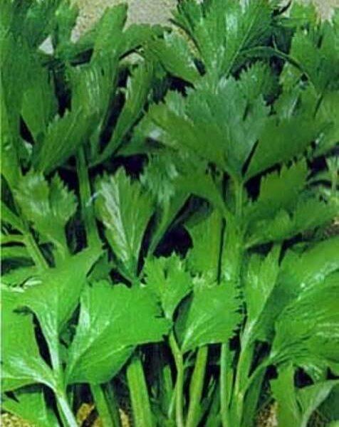 Сельдерей листовой Верде ди Таглио