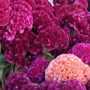 Целозия гребенчатая Коралловый сад