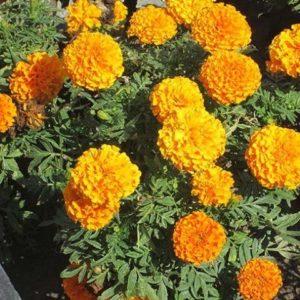 Бархатцы Купидон оранжевые