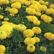 Бархатцы Купидон желтые