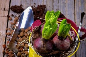 луковицы гиацинтов