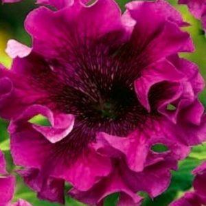 Афродита пурпурная F1