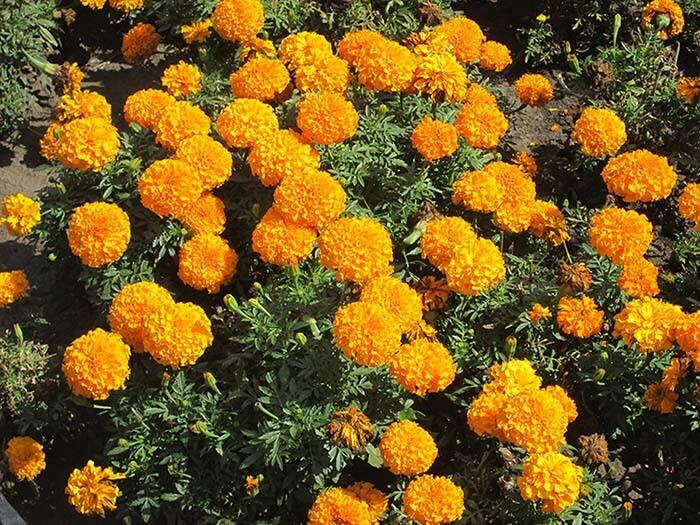 Бархатцы Оранжевые