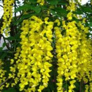 Бобовник Золотой дождь из семян