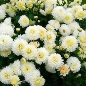 Хризантема бордюрная Снежный шар