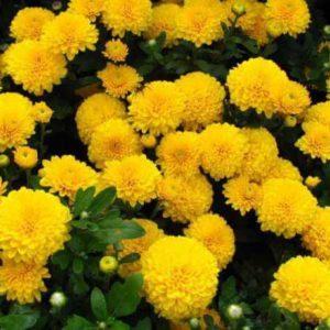 Хризантема бордюрная Золотой шар.