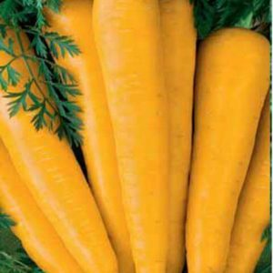 Морковь Лоберишер