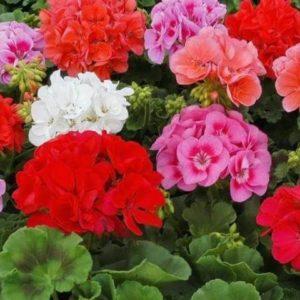 Пеларгония садовая Карнавал, смесь