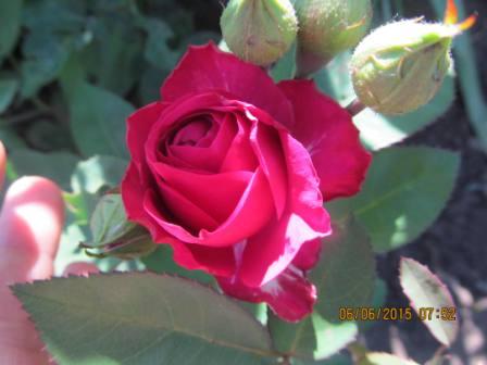 Роза. Моя дача
