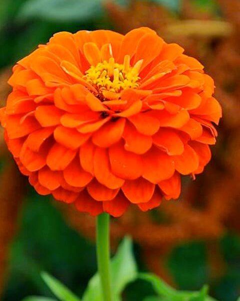 Цинния изящная Лилипутэк, оранжевая