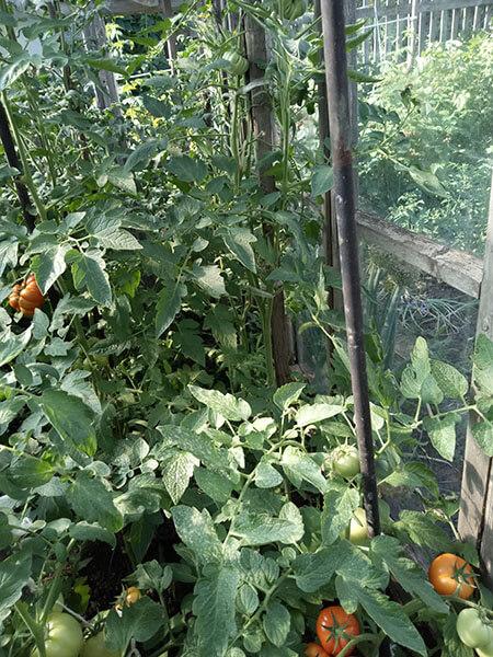 Высота томата Батяня