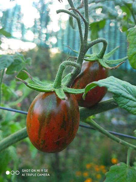 томат полосатый шоколад, лето 2020 г