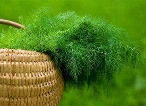 как выращивать укроп