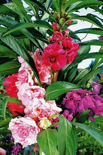 Бальзамин садовый Камелия