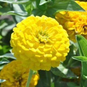 Цинния Желтая шапочка