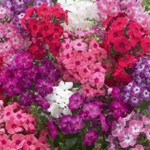 Флокс друмонда крупноцветковый