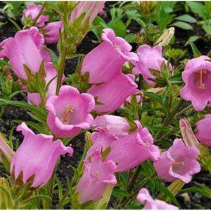 Колокольчик карминно-розовый