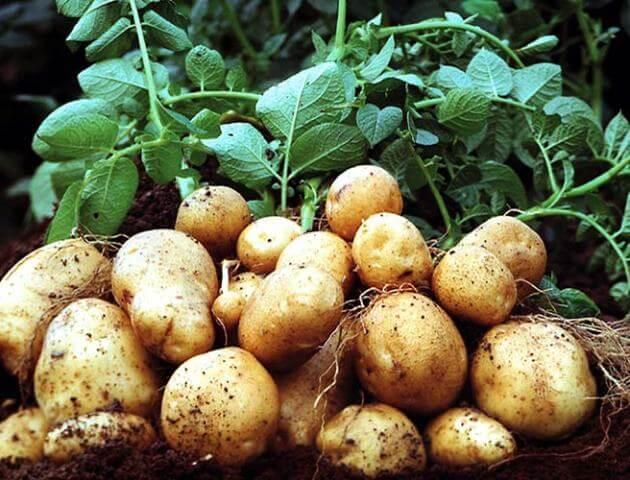 Средства от сорняков на картофеле