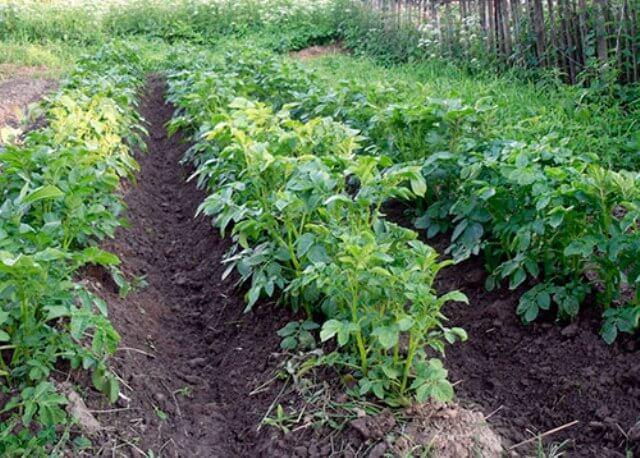 картофель на участке