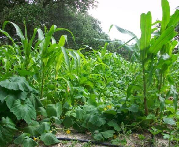 садим тыкву с кукурузой и фасолью