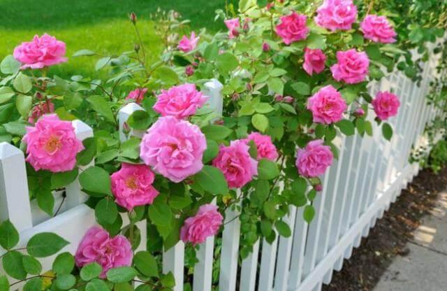 Уход за розой летом