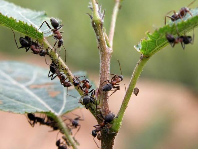 народные методы избавления от муравьев