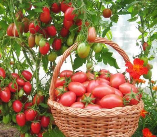выбираем розовые помидоры