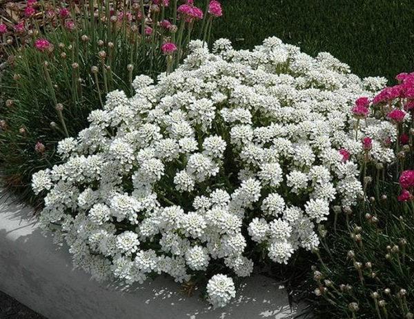 Иберис Гиацинтоцветковый Императрица
