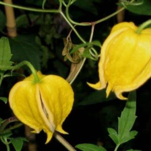 Клематис тангутский желтый