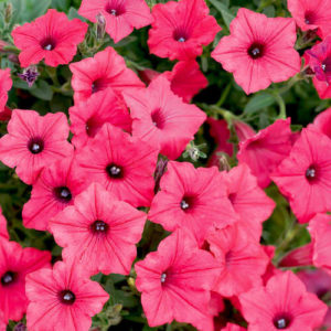 петуния розовая