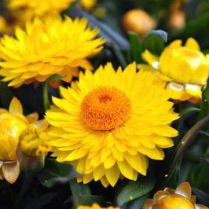 Бессмертник Лимонно-желтый